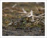 Northern Leopard Frogs - 1