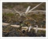 Northern Leopard Frogs - 2