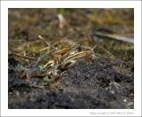 Northern Leopard Frogs - 3