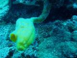 corail mou