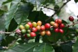 that's how coffee beans grow!
