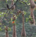 Crested Oropendula with nests
