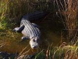 Alligator in the Wild 4890