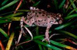 Eurasian Green Toad, Eurasian green toad