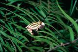 Painted Reed Frog, Hyperolius marmoratus