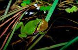 Common Tree Frog, Hyla arborea