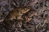 Common Toad mating. Bufo bufo