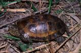 European Pond Tortoise