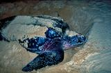 havsladerskoldpadda.jpg