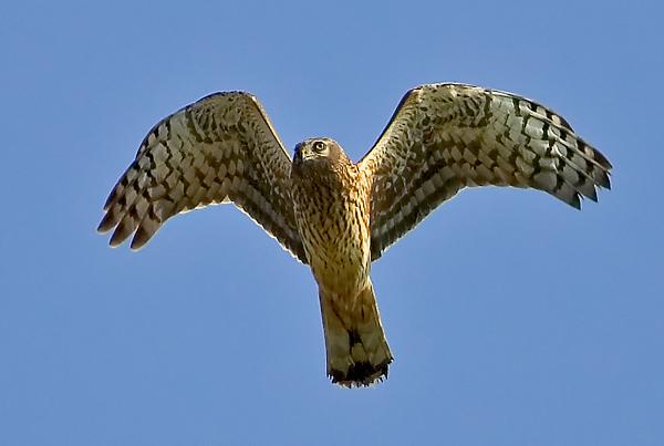 Hen Harrier, Circus cyaneus