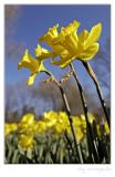 Wild daffodils II