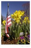 Wild daffodils IV