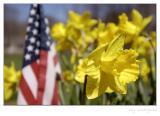 Wild daffodils III