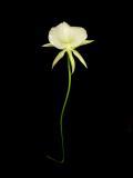 Angraecum longiscott 'Lea' AM/AOS