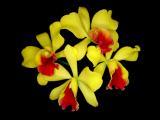 Blc. Sakurahime 'Yellow Flash' x Pot. Little Toshie 'Yellow Bird'