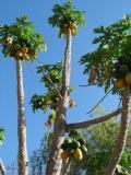 Papaye tree
