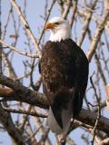 Bald Eagle 0105-8j  Naches River