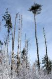2005-01-15: Pine Snags