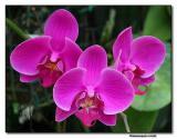 Orchid 19. Phalaenopsis