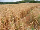maze in field of corn