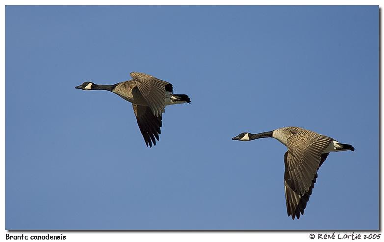 Bernaches du Canada / Canada Geese