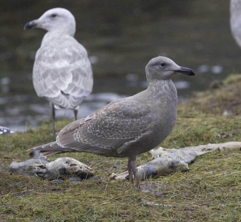 Glaucus-winged  x  Herring Gull (first year)