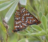 Checkerspots Crescents