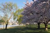 IMG01450.jpg morning, Potomac, Cherry blossoms