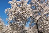IMG01466.jpg Yoshino cherry trees