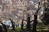 IMG01468.jpg Windy blossom petals