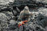 Marine Iguana and Sally Lightfoot Crab