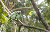 Mealy Parrots