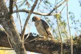 Hawk_Broad-winged