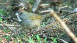 Green-tailed Towhee and seed pile birds