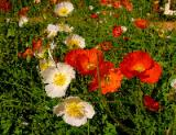 Poppies mosaic.jpg