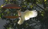 Cockatoo at bird feeder