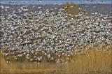 Snow Geese Fly-In, Bosque del Apache