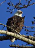 Bald Eagle_P9E0978.jpg