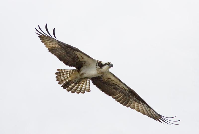 Osprey_P9E0901.jpg