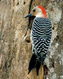 redbellied woodpecker full.jpg