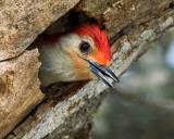 redbelliedwoodpecker3.jpg