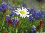 Shasta Daisy w/ Bluebonnets