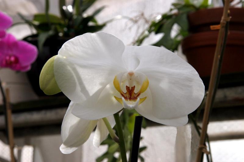 White Phalaeonopsis
