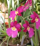 Lyman Orchid.