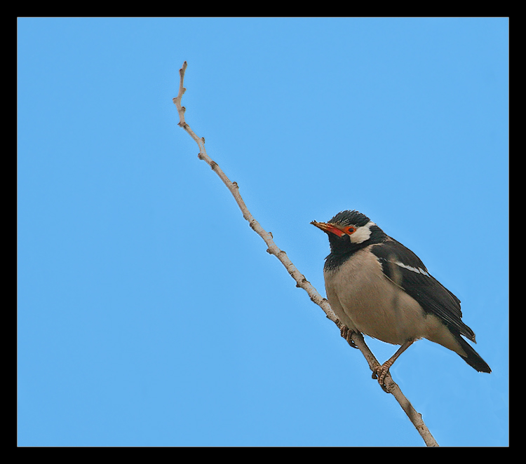 Pied Starling 1