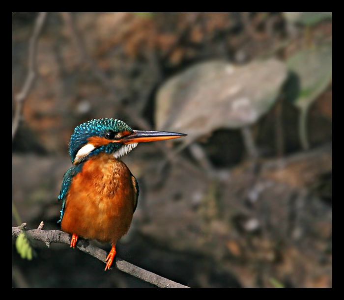 Small Blue Kingfisher 1