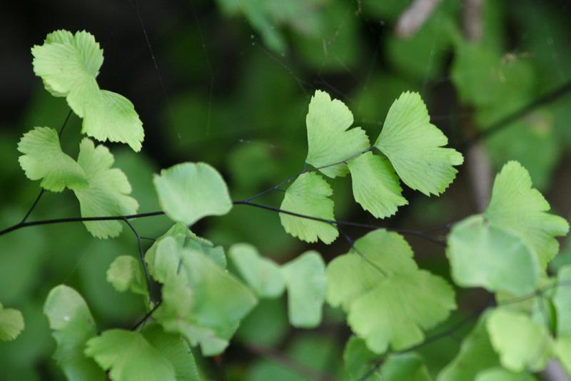 California Maidenhair (Adiantum jordanii)