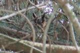 Long-eared Owl at Ed Levin