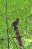Rufous-crowned Sparrow lets us get a great look
