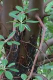 Madrone (Arbutus menziesii)